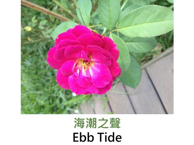 現代豐花矮叢玫瑰,育出:2001美國,紫紅色,圓瓣杯形,強香
