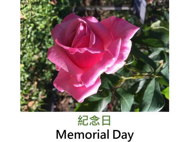 大花雜交茶香玫瑰,育出:2001美國,粉紅色,半劍瓣高心形,濃郁茶香