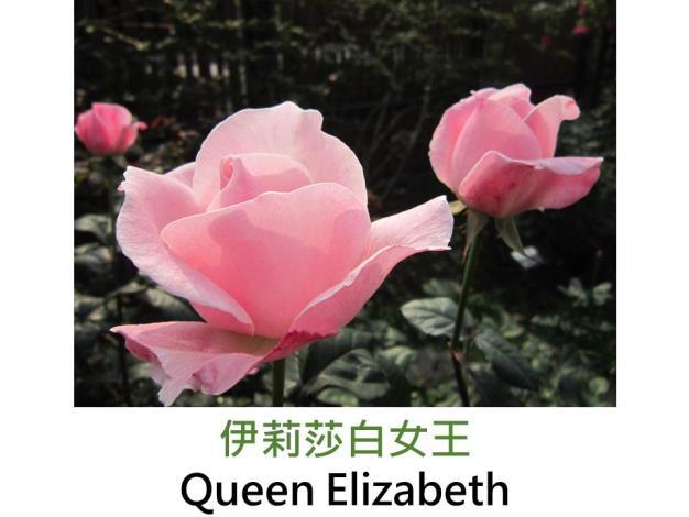 豐花矮叢玫瑰,育出:1954美國,亮粉紅色,重瓣杯狀圓形,淡香
