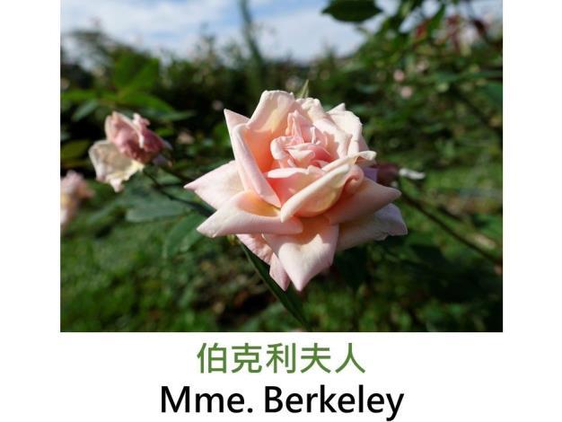 灌木玫瑰.育出:1899.粉橙杏色.外瓣淡紫.強香
