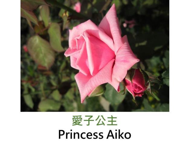 現代豐花矮叢玫瑰,育出 : 2002日本,淺粉色,半劍瓣高心形,微香