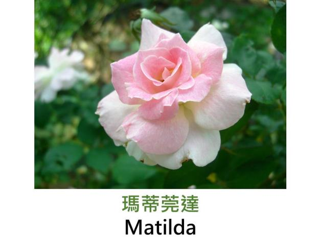 現代豐花矮叢玫瑰,育出 : 1988法國,桃紅至淡粉色覆輪,圓瓣平開,微香