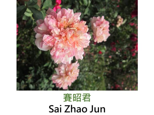 育出:中國,粉紅色,重瓣古典平開形,微香