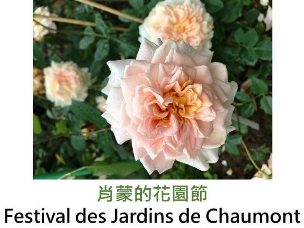 灌木玫瑰,育出:2006法國,鮭粉色,重瓣簇生花形,扁花,果香