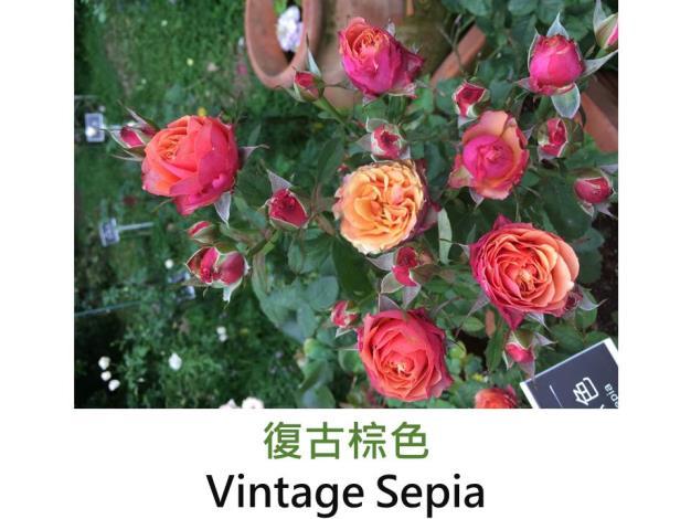 小型灌木玫瑰,育出:日本,黃橙複色,果香