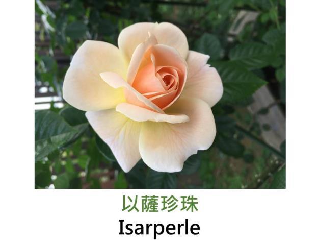 豐花玫瑰,育出:2004德國,奶油杏色,半重瓣,淡香