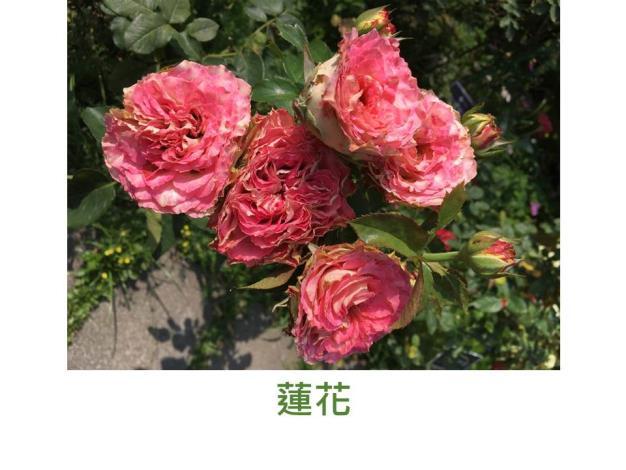育出:日本,花型如蓮花,瓣緣波浪狀,粉紅色,低溫季節有時會出現條紋