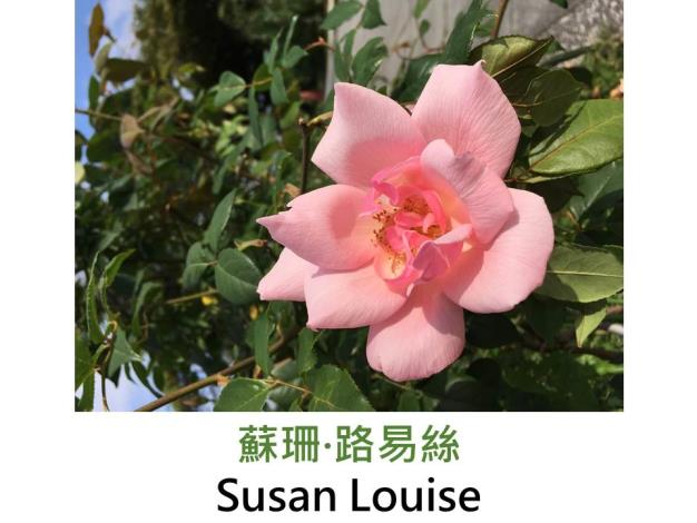 攀緣玫瑰,育出:1929美國,淺粉紅色,半重瓣