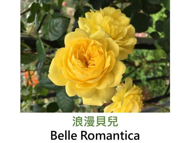 中輪豐花玫瑰,育出:2009法國,鮮黃色,中香