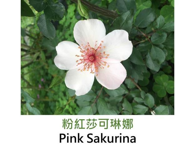 豐花灌木玫瑰.育出:2006法國.粉至白色.雄蕊紅色.單瓣