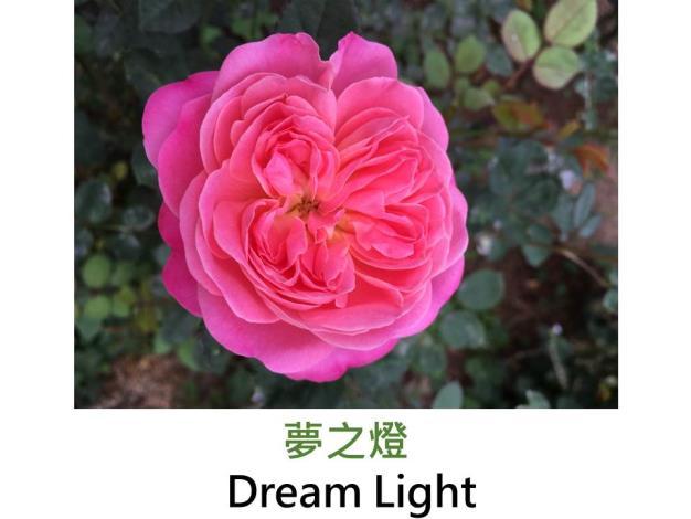 豐花玫瑰,育出:2008日本,深粉紅色,圓瓣杯形,中香