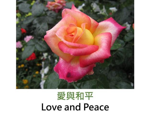 現代雜交茶香玫瑰,育出 : 1991美國,濃黃,粉橘紅覆輪,重瓣高心杯狀花形,沒藥香