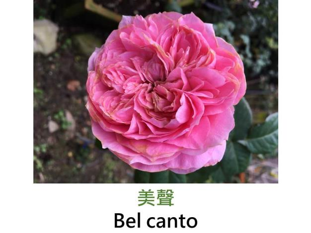育出:2011日本,粉紅色,古典杯形,中香