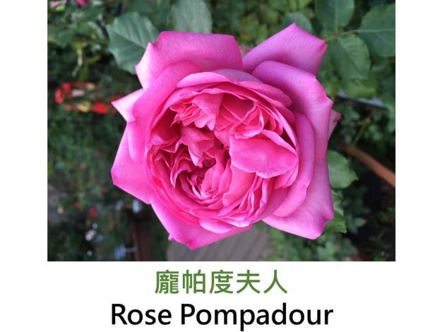 育出:2009法國,玫瑰粉色,濃香