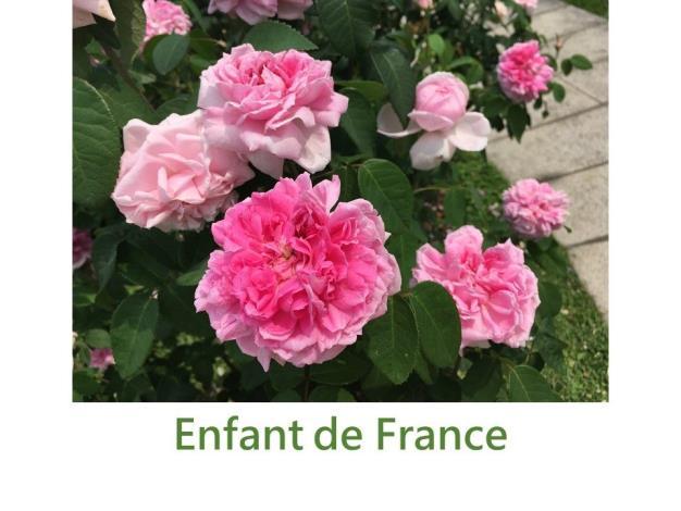 育出:1860法國.淡粉色.大花重瓣.濃香