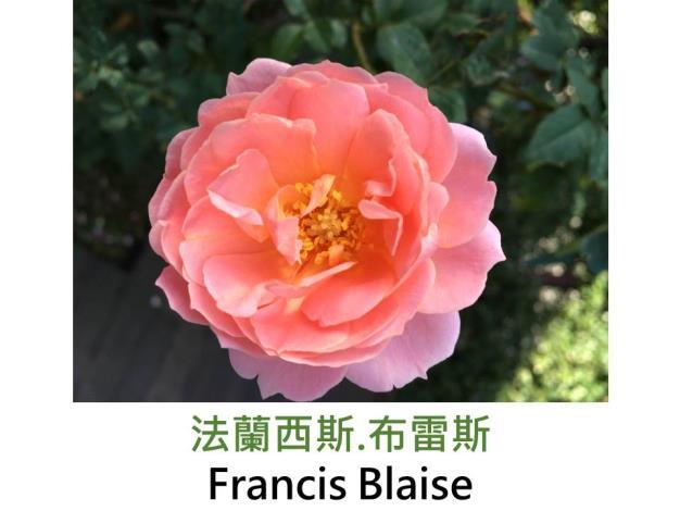 育出:1999法國,粉紅色黃底,杯形,濃香
