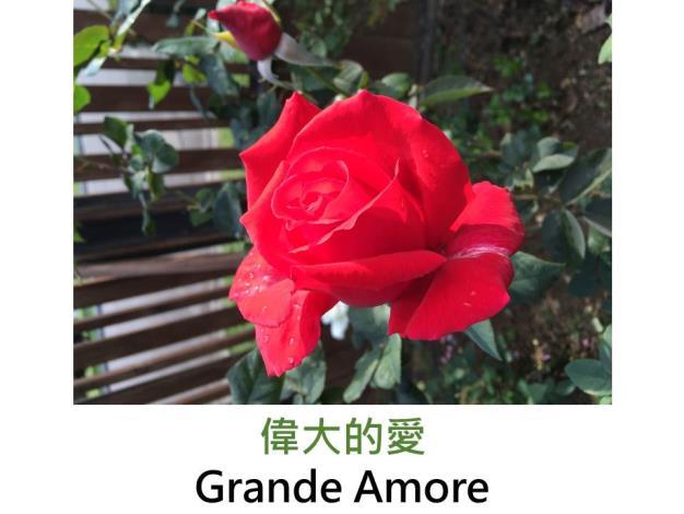 現代大花雜交茶香玫瑰,育出:1995德國,紅色,半劍瓣高心形,淡香