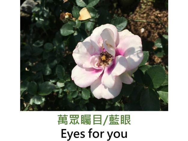 灌木玫瑰,育出:2008英國,白色,中心紫色斑塊,圓瓣平開形,中香