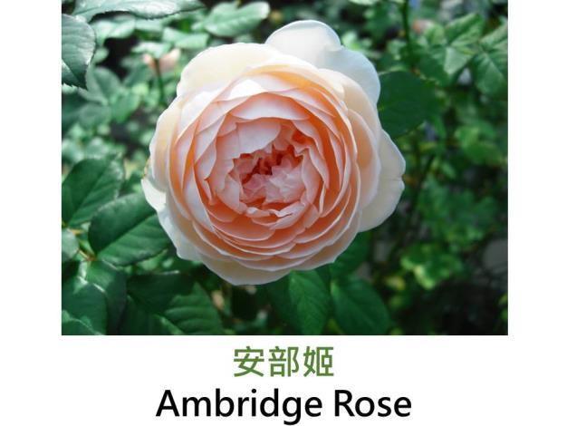 現代英國灌木玫瑰,育出:1990英國,淺橙帶粉紅,圓瓣簇生花形,強香