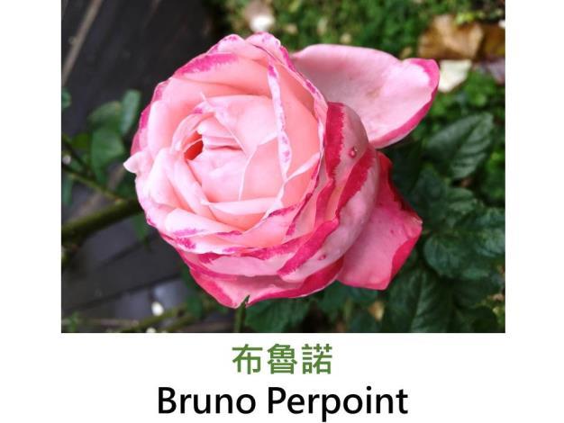 中輪灌木玫瑰,育出:1998法國,粉紅色深淺變化,球狀綻放,強香