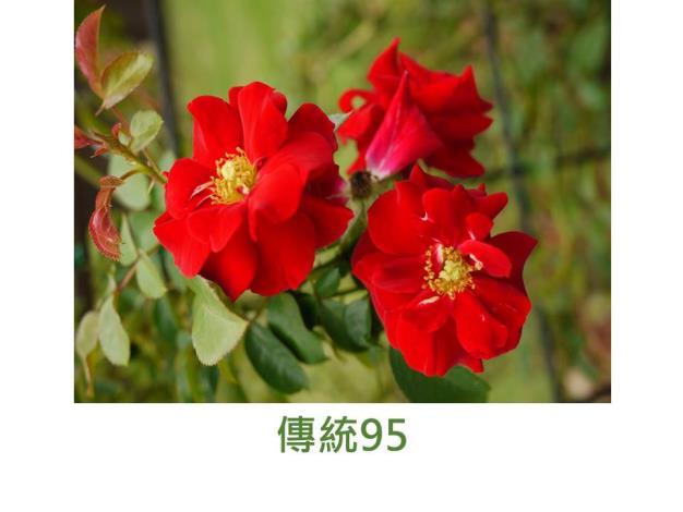 蔓性玫瑰,紅色,平開花形