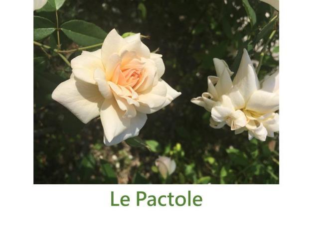 大輪,育出:1837前,法國,奶油色,中心淡黃,杯狀平開形,中香