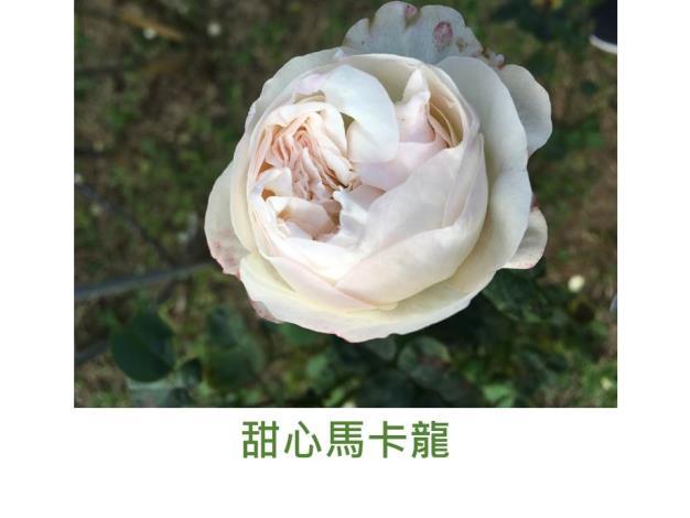 中輪灌木玫瑰,育出:2017,粉紅色,四分簇生古典杯形,濃香