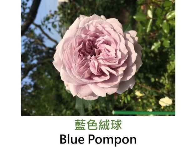 育出:2014德國,藍紫色,杯狀花,濃香