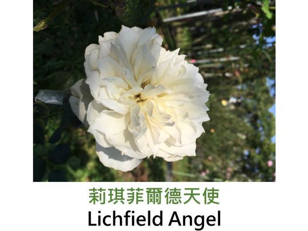 現代英國灌木玫瑰,育出:2006英國,奶油色,重瓣古典杯形平開,微丁香味