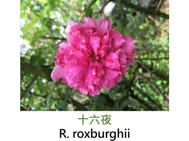野生種,桃粉色,花萼有刺