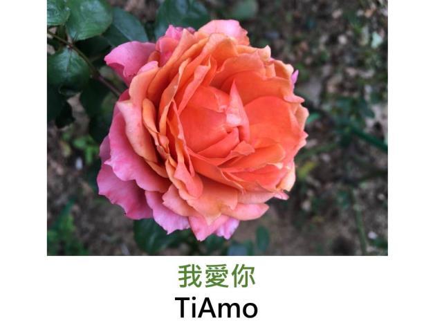 育出:日本,橙紅色帶玫瑰粉,紅色摺邊