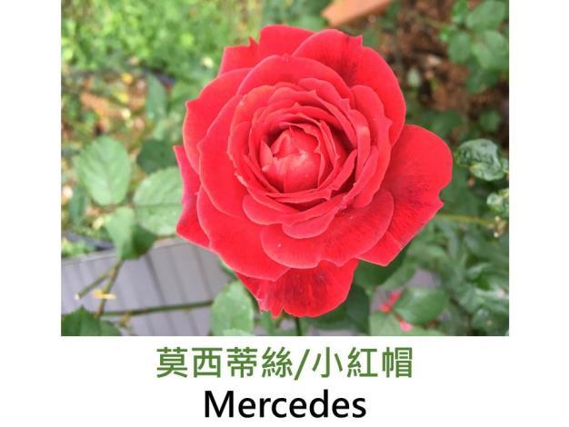 現代豐花矮叢玫瑰,育出:1974德國,橘紅混色,重瓣杯狀平開,淡香