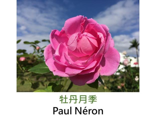育出:1869法國.深粉紅色.杯形球狀花.中香