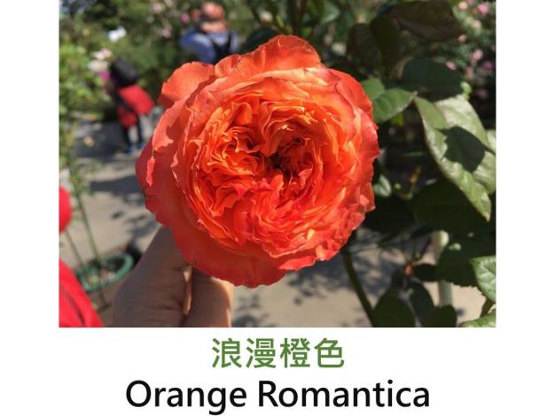 育出:2012前.法國.鮮豔橙色