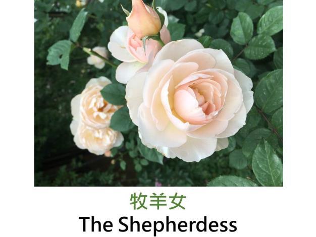 現代英國灌木玫瑰,育出:2007英國,杏色,重瓣古典杯形,中香