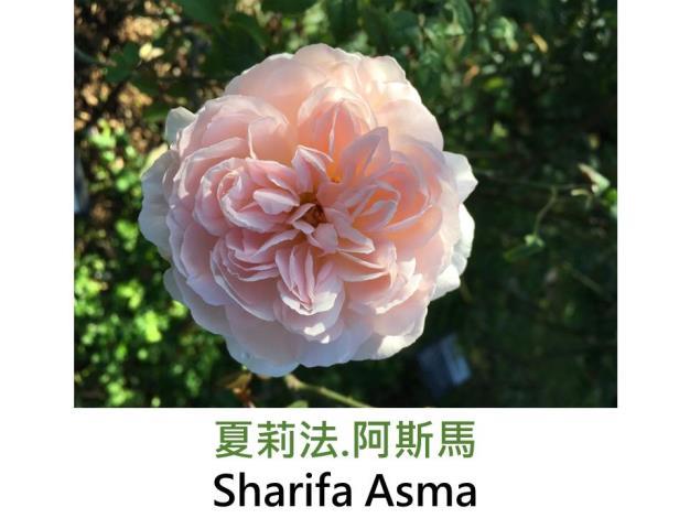 現代英國灌木玫瑰,育出:1989英國,粉紅,蕊心鮮黃,圓瓣杯狀花形,強香