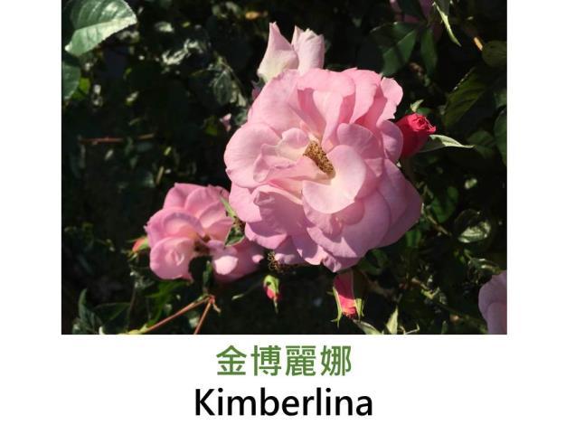 現代豐花矮叢玫瑰,育出:1995美國,淺粉,重瓣平開花形,淡香