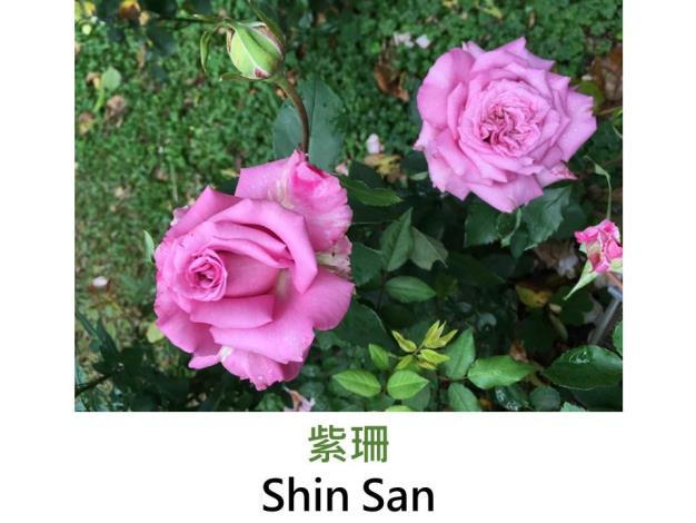 育出:2008台灣,亮紫波浪瓣端濃紫,強香