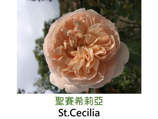 中輪灌木玫瑰,育出:1987英國,淡粉色,杯形,濃沒藥香