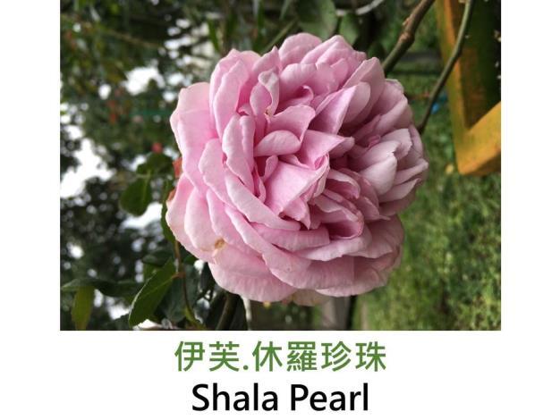 大輪灌木玫瑰,育出:日本,深粉色,包子形,濃香,伊芙伯爵的變種