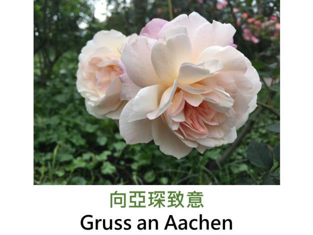 中輪豐花玫瑰,育出1909年德國,杏色多變化,圓瓣杯形,微香