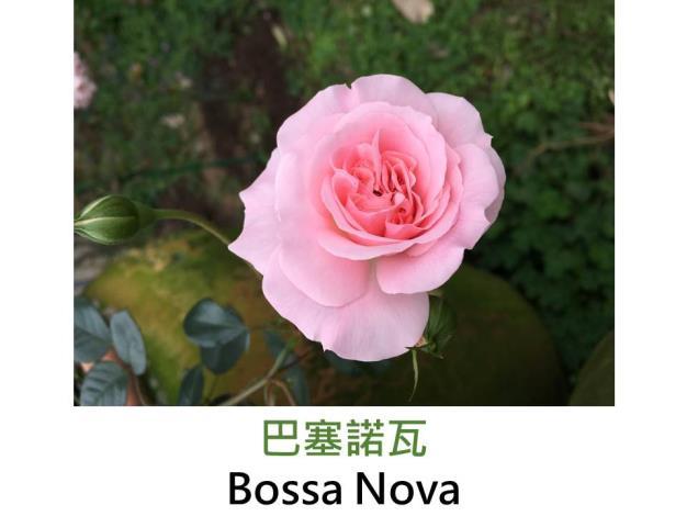 灌木玫瑰,育出:1991丹麥,粉紅色,圓瓣古典平開形,微香