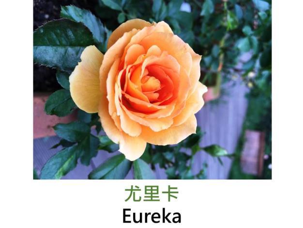 中輪豐花玫瑰,育出:2002德國,橘黃色,圓瓣杯形,中香