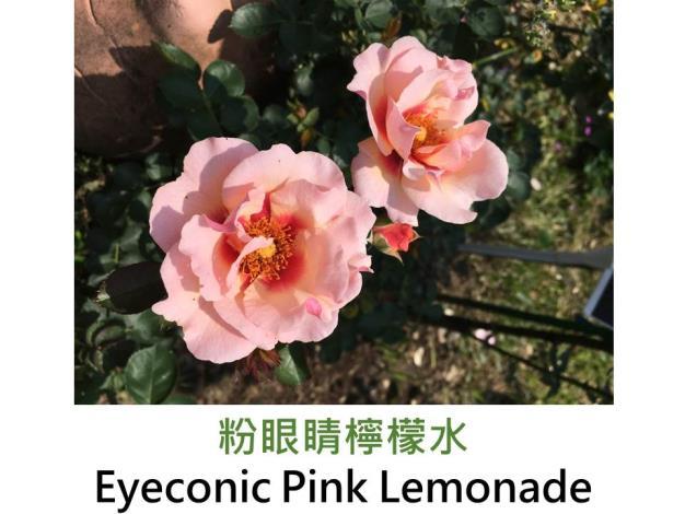 灌木玫瑰,育出:2011美國,粉紅色,花心紫紅斑,半重瓣平開形,無香