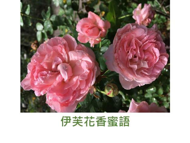 育出:日本,深粉紅,濃香