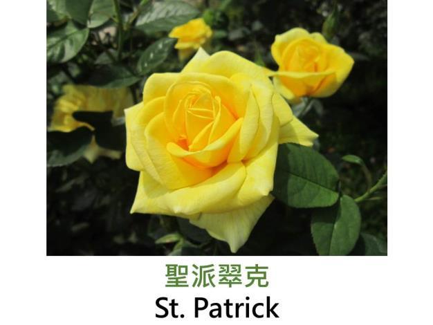 現代大花雜交茶香玫瑰,育出:1986美國,黃綠色,半劍瓣高心型,微香