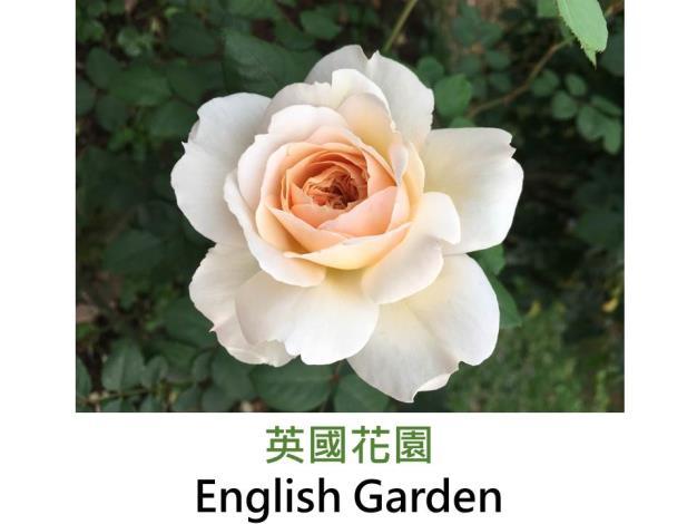 灌木玫瑰,育出:1986英國,杏色,杯狀四分簇生平開形,茶香
