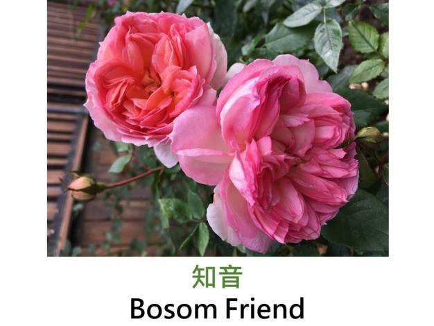 豐花灌木玫瑰,育出:2018台灣,大輪古典深杯花形,強香
