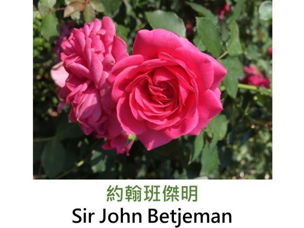 育出:2008英國David Austin,桃紅色,圓瓣古典平開形,微香