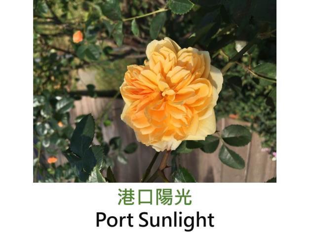 中輪灌木玫瑰,育出:2007英國,杏黃色,古典花形,茶香